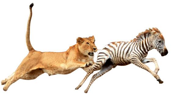 Leeuw en zebra